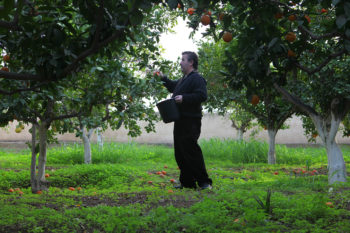 Ali Qleibo picks oranges in the orchards surrounding his home in the West Bank city of Jericho, winter 2010.  (Mati Milstein)