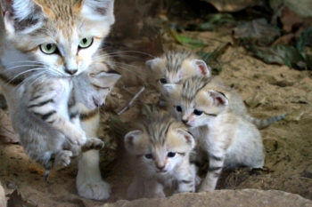 Rotem the female sand cat carrying her newborn, with three more of her kittens, at the Ramat Gan Safari near Tel Aviv, Aug. 11, 2012.  (Tibor Jager/Ramat Gan Safari/FLASH90)
