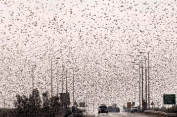 Hundreds of thousands of locusts flying over Ramat Negev in southern Israel, March 5, 2013.  (Dudu Greenspan/FLASH90)