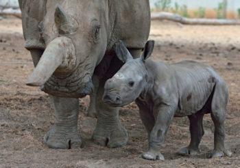 Terkel, a white rhino born on June 15 at the Ramat Gan Safari near Tel Aviv, with his mother, Tanda. (Tibor Jager/Ramat Gan Safari/Flash90)
