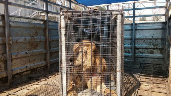 How This Sick Lion Left Gaza, Drove Through Israel, and Landed in the West Bank